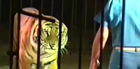 ATAQUE MORTAL: Domador é morto por tigres durante treinamento