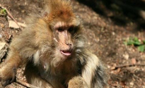 Macaco é morto pelo seu próprio bando em zoo após ficar impotente