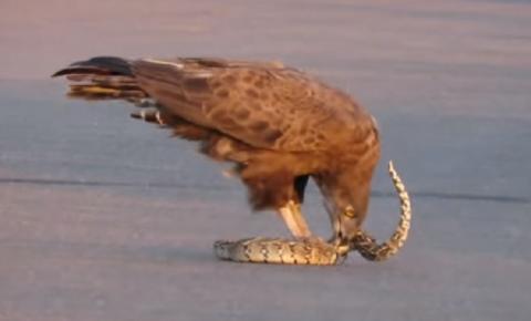 Imagens fortes: Vídeo impressionante mostra águia e cobra venenosa em luta mortal