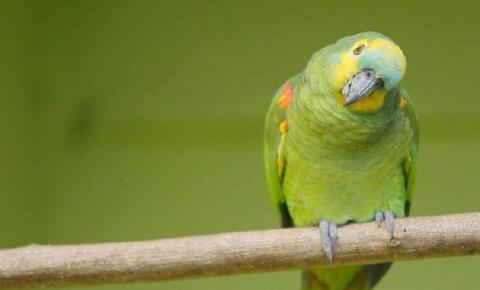 Papagaio de estimação alerta dona e evita assalto