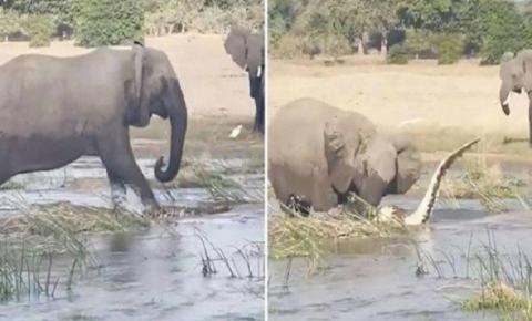 Mamãe elefanta esmaga crocodilo até a morte após ter filhotes ameaçados; assista ao vídeo